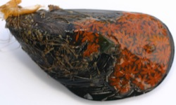 Botryllus schlosseri Image 9-dark orange on mussel