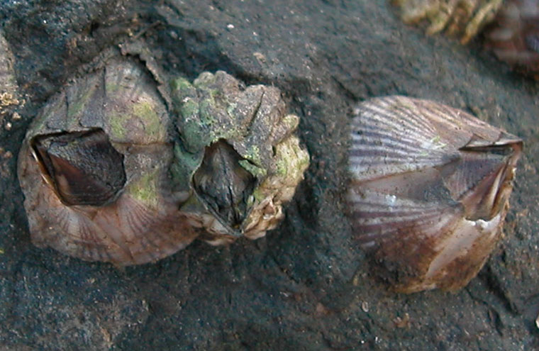 Balanus amphitrite | The Exotics Guide
