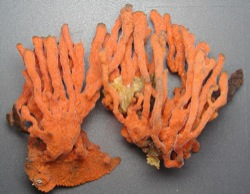 Clathria prolifera (Red Beard Sponge)
